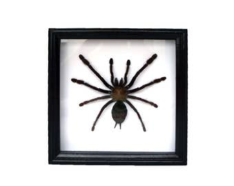 Spider framed Singapore blue Lampropelma violaceopes / tarantula taxidermy / wall decor spiders wood frame collection weird insect