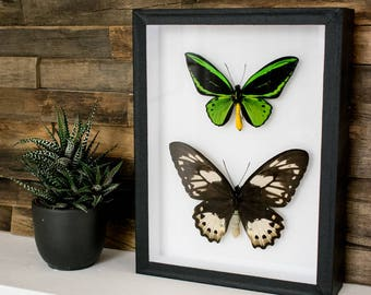 Ornithoptera priamus male & female // RARE // insect museum box //  shadowbox