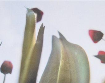 Tulips - photographic postcard