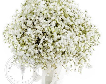 Fresh Gypsophila (Baby's Breath) - FREE SHIPPING