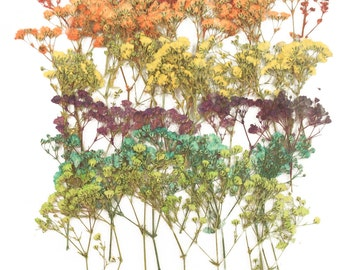 Pressed flowers , gypsophila, baby's breath mixed colors, red orange yellow purple turquoise green