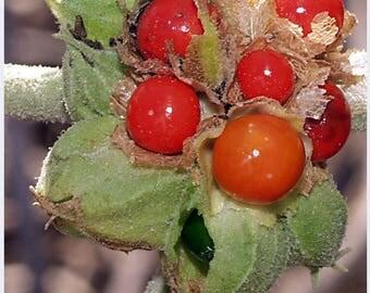 50 INDIAN GINSENG Withania Somnifera Ashwaganda Herb Flower Seeds