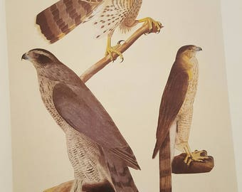 Vintage Print, Audubon, Northern Groshawk, Cooper's Hawk