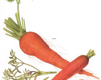 Set of 2 Vintage Vegetable Prints Carrots Tomatoes 1970s Illustrated Color Plates Book Pages