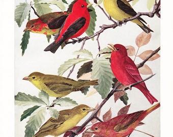 1917 Bird Print - Plate 87 - Scarlet Summer Tanager - Vintage Antique Art Illustration by Louis Agassiz Fuertes 100 Years Old
