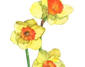 Daffodil watercolour painting print, daffodil print of watercolour painting, D14816, 5 by 7 size, daffodil painting. botanical wall art