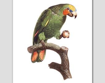 Bird Art, Parrot Perch (Bedroom Print, Victorian Wall Decor) -- 8x10 or 11x14 -- 18th Century Artist