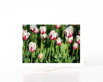 Tulip Cards, Spring Flower Blank Photo Greeting Cards, White Red Varigated Tulips, Flower Photo Note Card Sets, Nature Photography Cards