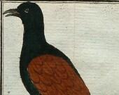 1780 Antique Buffon engraving of a CUCKOO bird from ANTIGUA ISLAND. Tropical birds. Exotic birds. Ornithology. 237 years old rare print