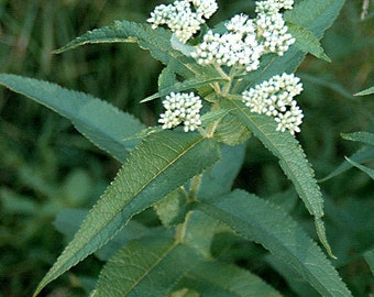 H) BONESET~Seeds!!!~~~~~~~First Aid Kit in a Plant!
