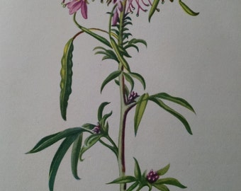 Pink cleome, antique botanical litho print, 1954