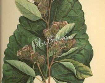 plants-28638 - Common Burdock, arctium minus, lesser burweed, louse-bur, button-bur, cuckoo-button, wild rhubarb biennial plants vintage jpg
