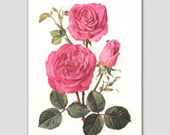 "Vintage Botanical Art, Mothers Day Gift Idea (Cottage Chic Decor, Pink Rose Print) -- ""Pink Peace"" No. 53"