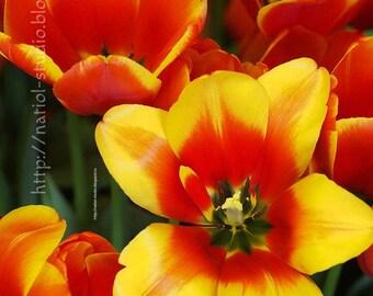 Bright orange flower, original wall decoration, print tulip, interior living room, gift to the bedroom, Living room, botanical decor