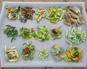 200 Succulent Leaves Propagation Crassula/Sedum/Kalanchoe/Graptosedum Variety DIY Starter Collection