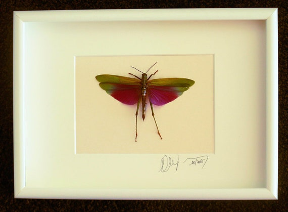 Artframe with real insects : Topquality framed insects  a beautiful Titanacris albipes male grasshopper FREE SHIPPING