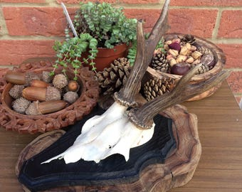 Beautifully Preserved Roe Deer Skull Natural Taxidermy Wall Mount #48