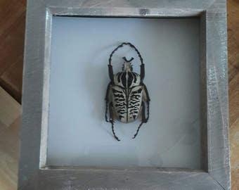 Taxidermy large framed goliath beetle
