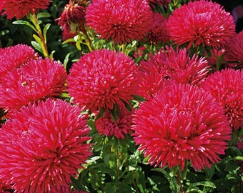 Aster Flower Seeds Scarlet annual from Ukraine#961