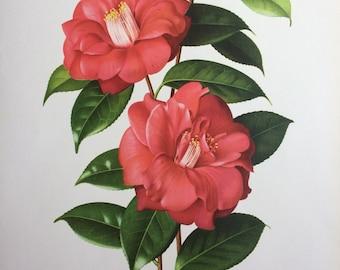 1960 Camellia Japonica 'Adolphe Aubusson' original vintage print - Paul Jones painting reproduction - botanical print - flower art