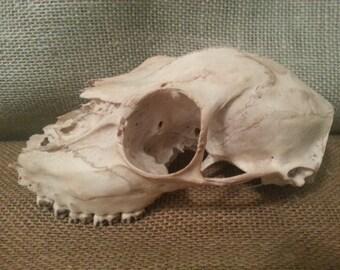 Animal Skull Animal Bone