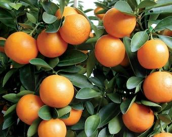 "MEIWA KUMQUAT 3""- 6"" Tree Real Live Citrus Fruit Trees Plants Orange Fruits Nagami Marumi Seedling Starter Plant Sweet Edible Landscaping"