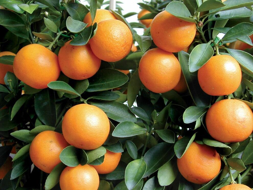 Kumquat 3 6 tree real live citrus fruit trees for Plante kumquat