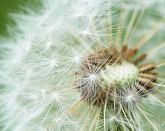Dandelion Print, Dandelion Photography, White Flower, Macro Photography, Fine Art Photography, Garden Art, Flower Decor, Nursery Decor