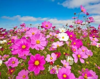 Cosmos~Mexican Aster Early Sensation Mix