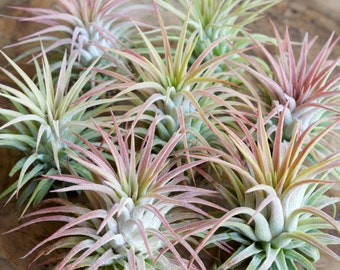 SALE! 3 pack - Large T. Ionantha Rubra Air Plant