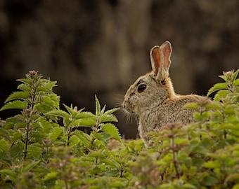 Photographic print - fine art print - Hare in nettles