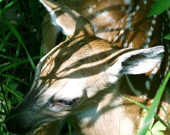 Fawn in the Grass 5x7 Photograph