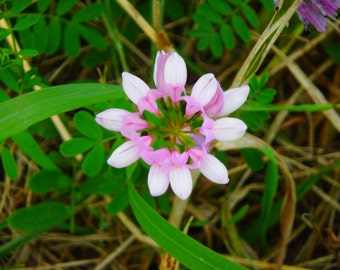 Pink and White Wildflower