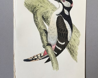 Antique Bird Print from 1890 of a great spotted woodpecker, great gift for ornithology lovers.