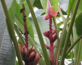 """100 seeds pink dwarf banana Kenya-banana-""""Musa velutina"""""""
