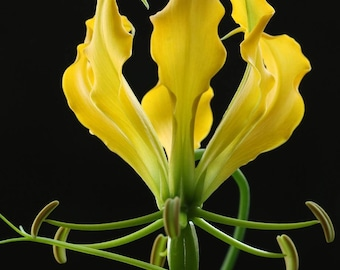 50 Seeds Gloriosa Lutea, Gloriosa Lily, Climbing Lily, Flame Lily Gloriosa