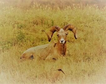 The Ram Photo Card