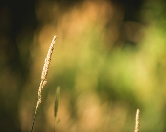 Golden Field in Sunset - Nature Photography - Rustic Home Decor Photo Print