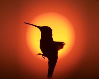 Hummingbird, Sunrise, Nature, Nature photography, Sun, Red, Wildlife,