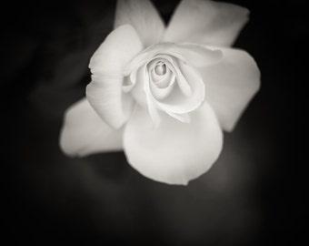 Rose  - Aluminum black and white metal print