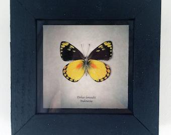Real butterfly framed - Delias lemoulti