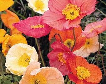 35+ ICELAND POPPY, Champagne Bubbles MIX , papaver / Deer Resistant  / Perennial  / Flower Seeds