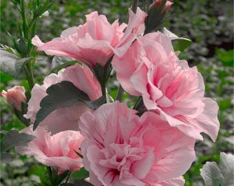 Hibiscus Chiffon Collection - Double Flowered Tree Hollyhocks - Pack of THREE Plants