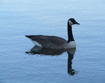 Goose sitting in the water reflection photograph (Framed)