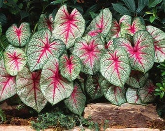 Caladium White Red Green Blend Color , Foliage Bulb , Summer Blooming Plant