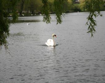Swan Loch - beautiful Linlithgow
