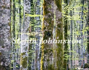 Beech forest. Fine art photography. Wall art. Interior design.