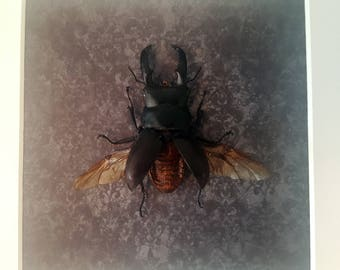 Stag beetle showcase