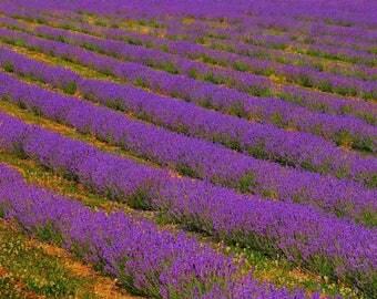 Lavender  field Coulsden Surrey Print 0519-0025