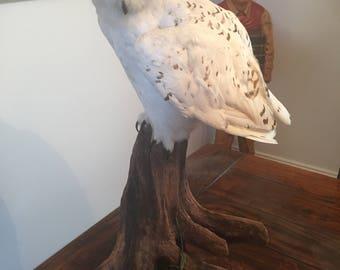 Taxidermy snowy owl